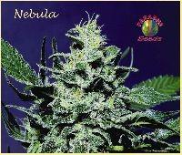 Nebula Regular 0