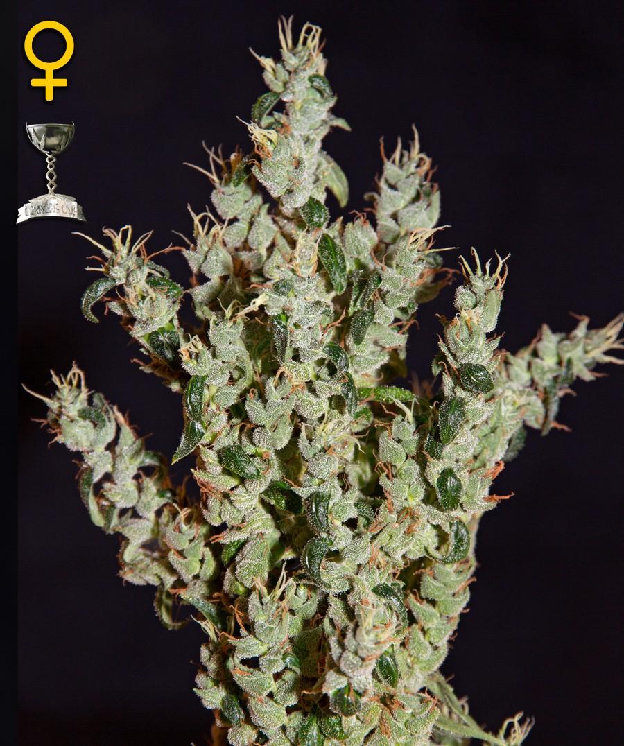 NL5 Haze Mist (Green House Seeds) Semilla Feminizada 1