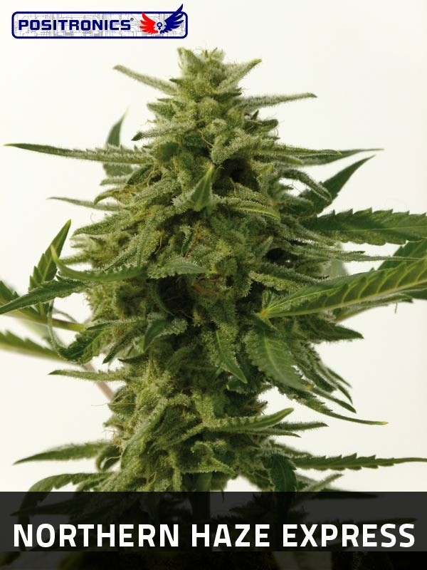 Northern Haze Express (Positronics Seeds)  0