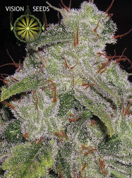 Northern Lights Auto Vision Seeds 0