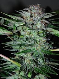 Northern Dwarf Auto (Profesional Seeds) SEmilla Feminizada Autofloreciente Cannabis 0
