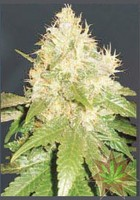 Northern Light Blue (Delicious Seeds) 0