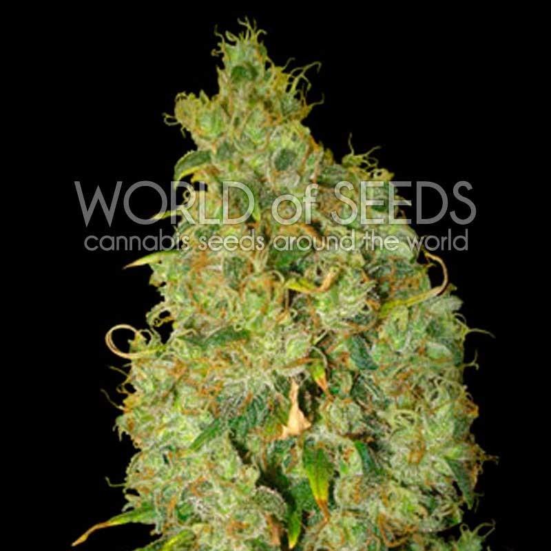Northern Light x Skunk (World of Seeds) 1