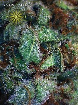 NY Diesel Vision Seeds Semilla Feminizada  0