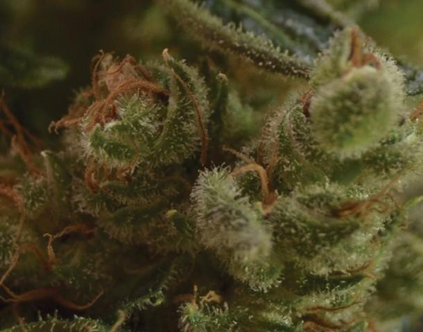 One to One Semilla feminizada de Cannabis de CBD Seeds Bank 0