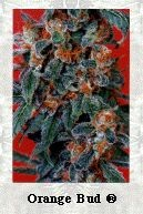 Orange Bud (Dutch Passion Seeds) Regular 0