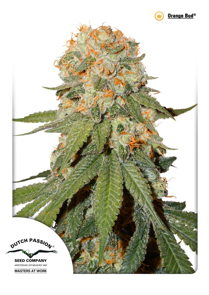 Orange Bud (Dutch Passion) Semilla Feminizada  1