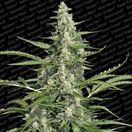 Pandora Auto (Paradise Seeds)  Las mejores semillas de Marihuana de Paradise Seeds al mejor precio en nuestros GrowShop Doctor Cogollo - PowerCogollo.com  Semilla Autofloreciente feminizada Pandora Auto (Paradise Seeds) Cannabis rápida floración.  Una pla 0