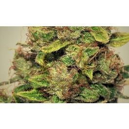 Clemenvilla Kush Semilla Feminizada Marihuana Barata 0