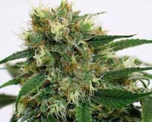 Phatt Fruity (Barney´s Farm Seeds) 0