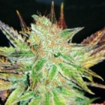 Prozack (Medical Seeds) Feminizada 0