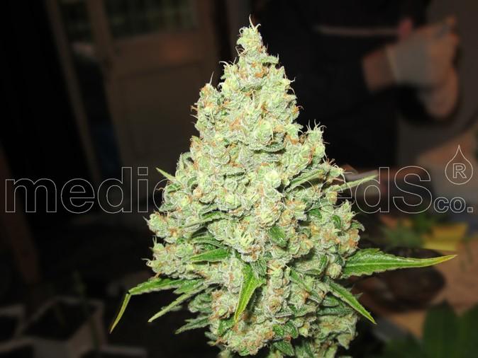 Prozack (Medical Seeds) Feminizada 1