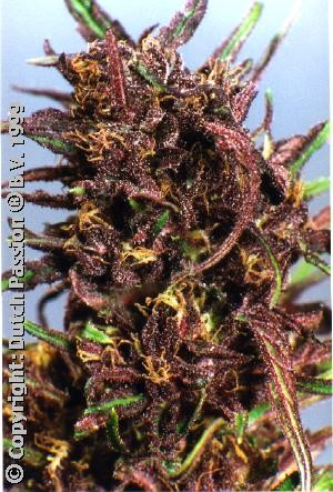 Purple #1 Regular (Dutch Passion) Semilla Cannabis-Marihuana 0