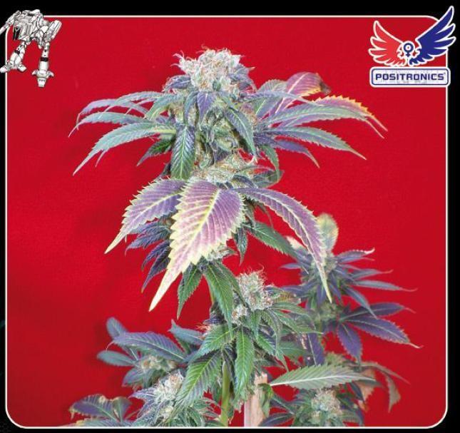 Semilla Feminizada Cannabis Purple Haze #1 (Positronics Seeds) 0