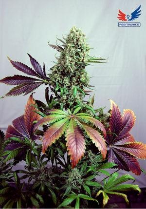 Semilla Feminizada Cannabis Purple Haze #1 (Positronics Seeds) 2