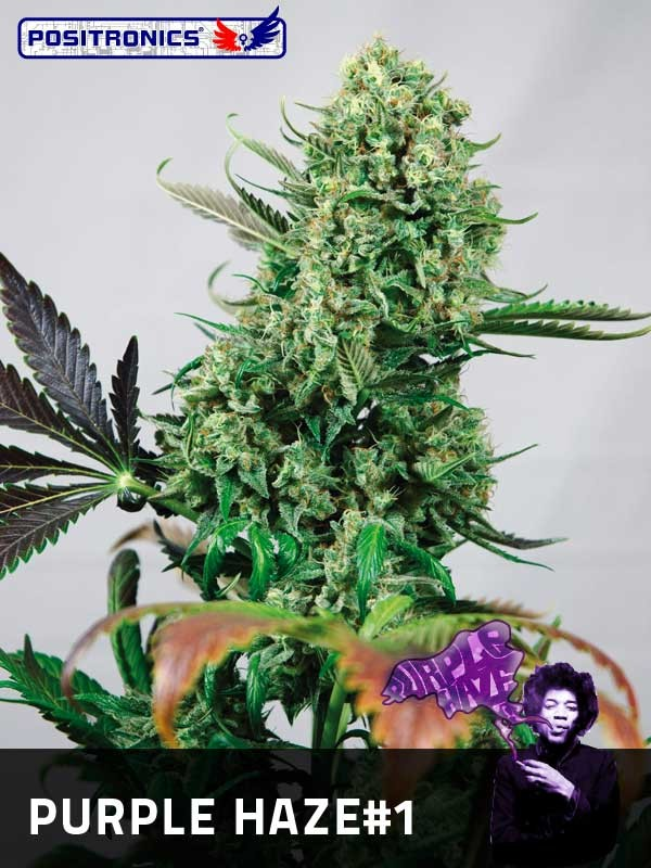 Semilla Feminizada Cannabis Purple Haze #1 (Positronics Seeds) 1