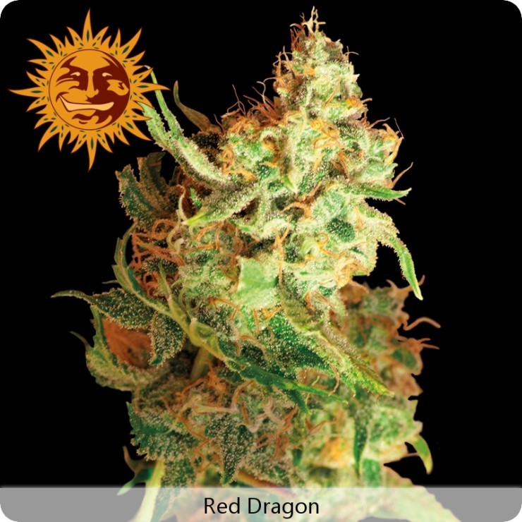 Red Dragon (Barney´s Farm seeds) 0