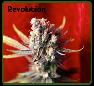 Revolution (Reggae Seeds) Regular 0