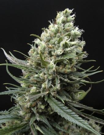 Ripper Haze (Ripper Seeds) Semilla Feminizada de Cannabis 0