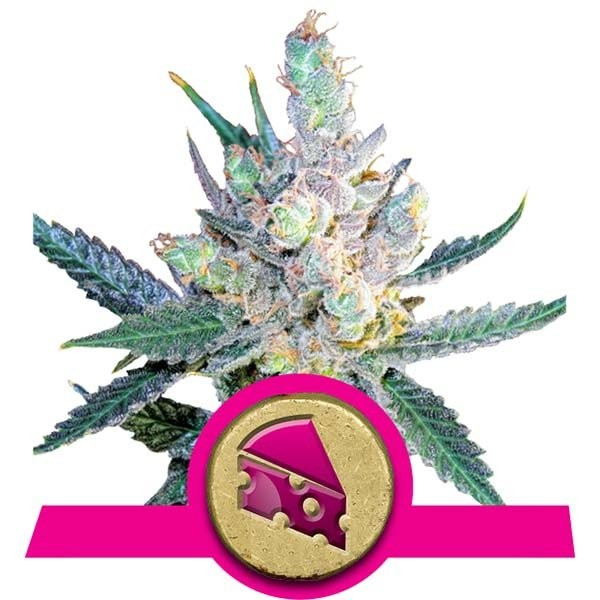 Royal Cheese (Royal Queen Seeds) Fast Flowering 1