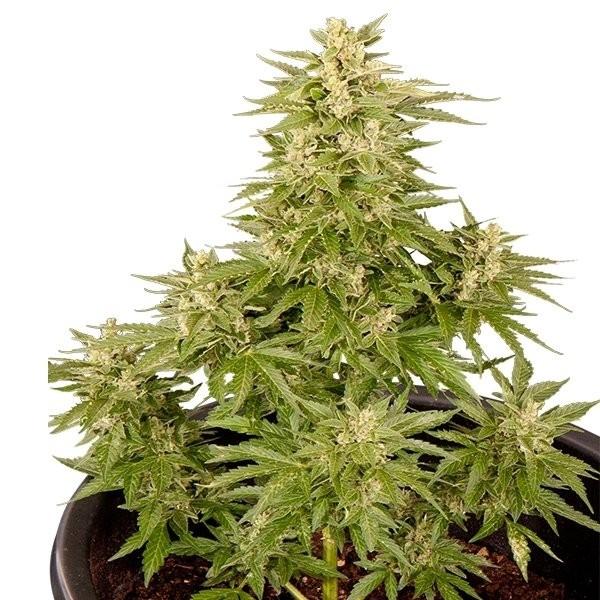 Semilla Royal Critical Automatic (Royal Queen Seeds) Cannabis Autofloreciente Feminizado 1