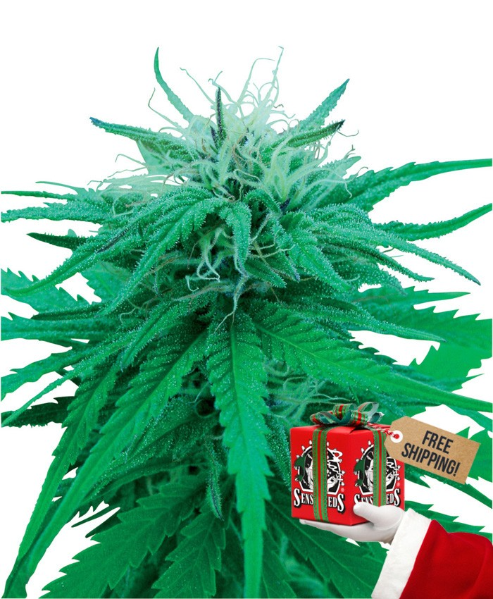 Rudelaris Indica (Sensi Seeds) Regular 2