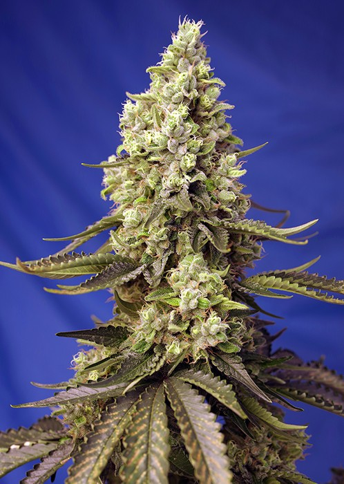 Runtz XL Auto (Sweet Seeds) 0