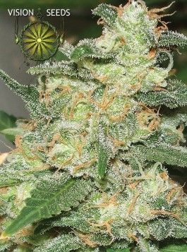 Russian Snow Vision Seeds  0