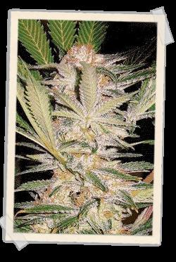 S.A.D. (F1 Fast Version) Sweet Seeds Semilla Feminizada Muy rápida floración 0