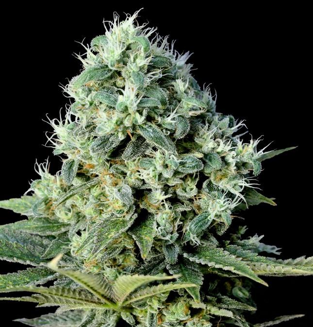 Santa Bilbo (Genehtik Seeds) Semilla Feminizada Cannabis 0
