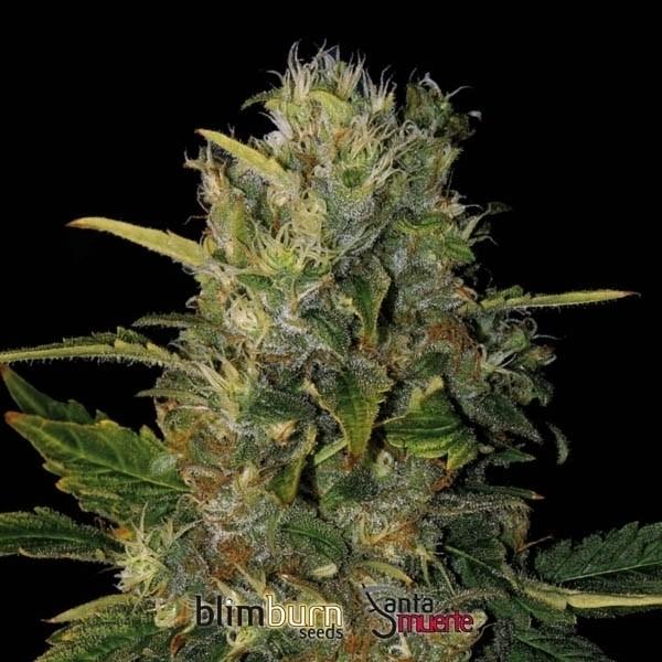 Santa Muerte (Blim Burn Seeds) semilla feminizada  1
