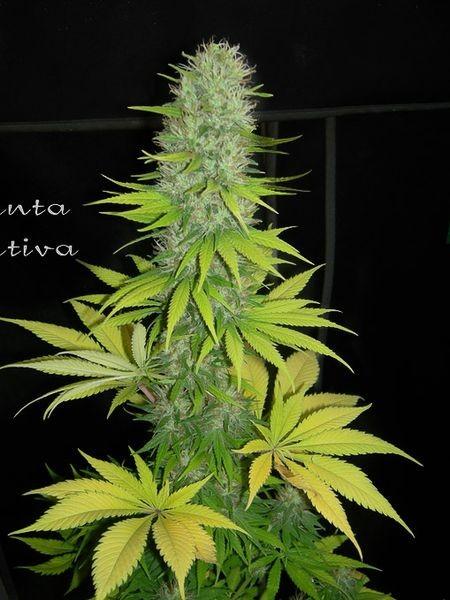 Santa Sativa (Dinafem Seeds) 2