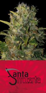 Santa Muerte (Blim Burn Seeds) semilla feminizada  0