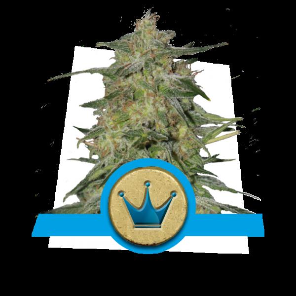 Royal Highness CBD Feminizada (Royal Queen Seeds) 1