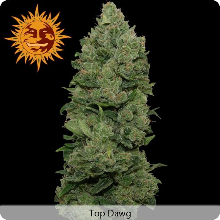 semilla Feminizada Top Dawg de Barney´s Farm Seeds 0