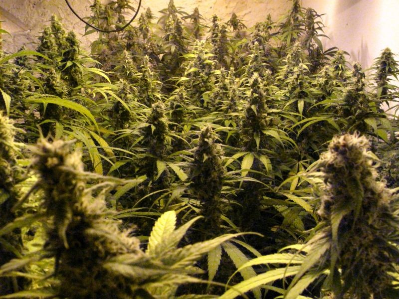 Semilla Juanita la Lagrimosa (Reggae Seeds) Barata 1