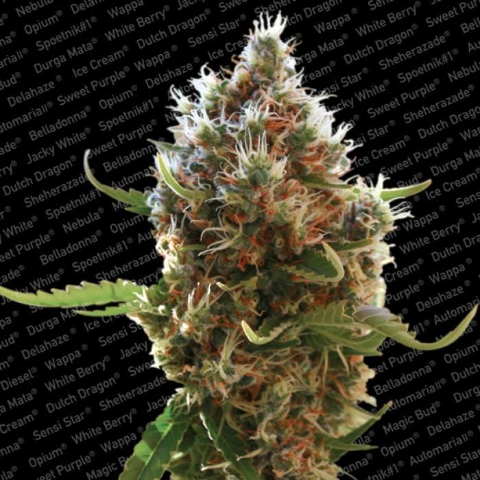 Semilla Lucid Bolt (Paradise Seeds) feminizada 0