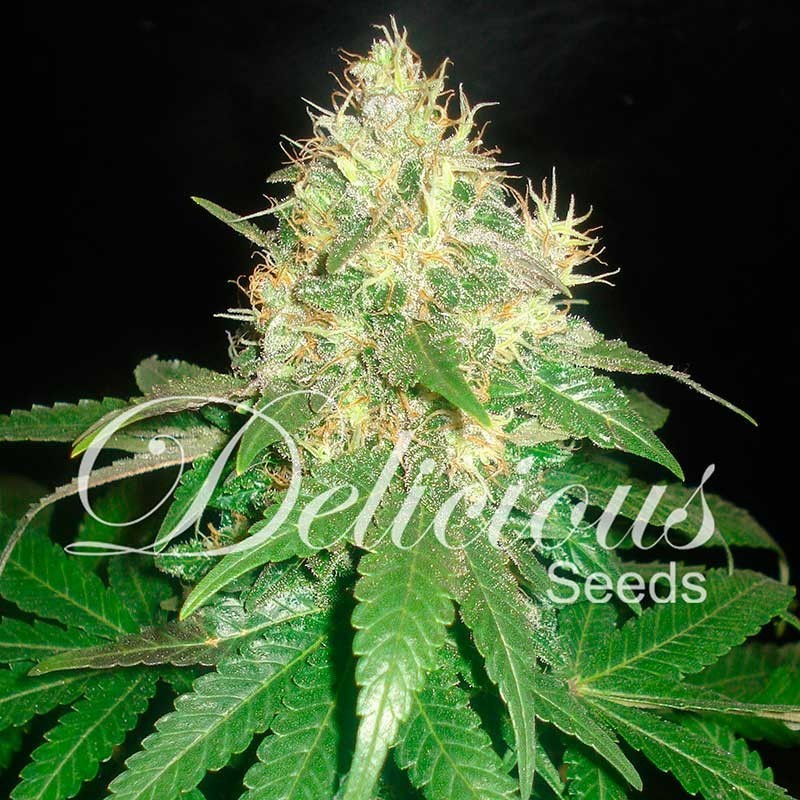 Northern Light Blue (Delicious Seeds) 1