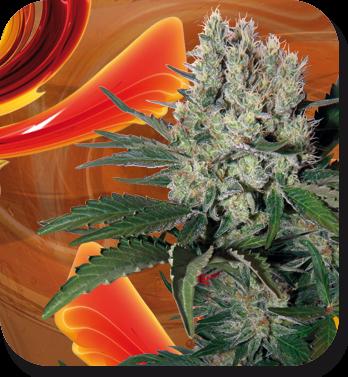 Syrup Auto (Buddha Seeds) 0