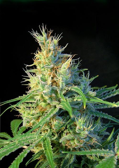 Psicodelicia Feminizada (Sweet Seeds)  1