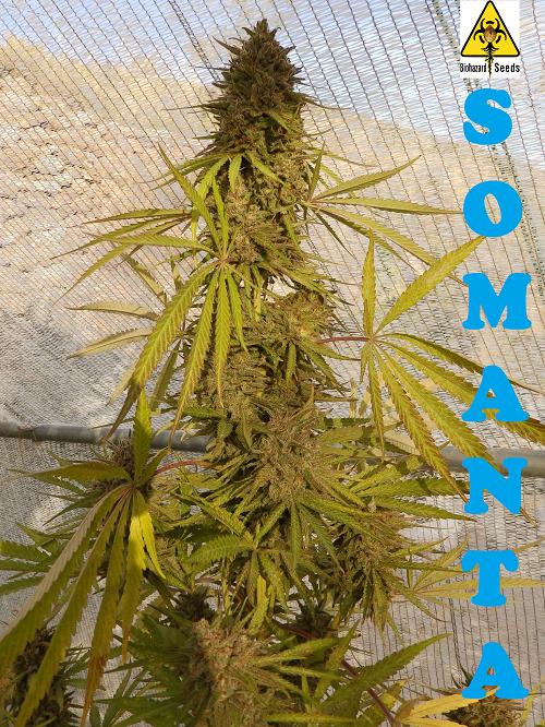 Somanta Feminizada (Biohazard Seeds)  1