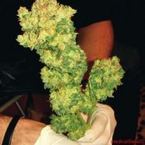 Sour Diesel (Medical Seeds) Feminizada 0