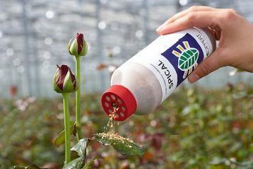 Lucha Biológica Amblyseius Californicus (Contra Araña Roja) en el Cultivo 1
