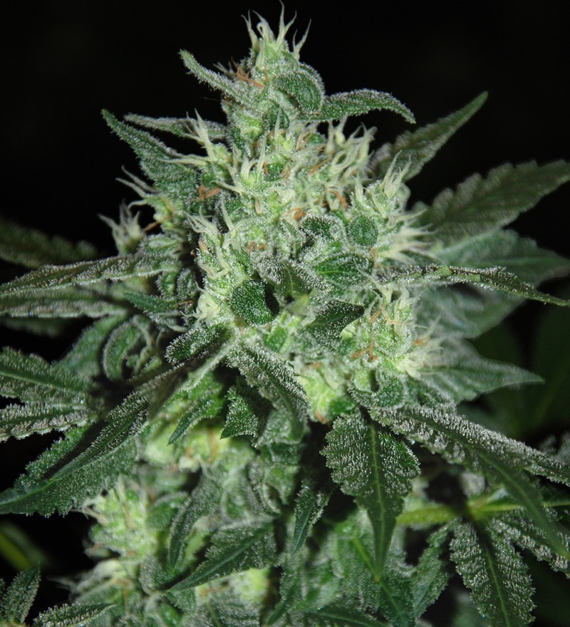 Spicy White Devil (Samsara Seeds) 2