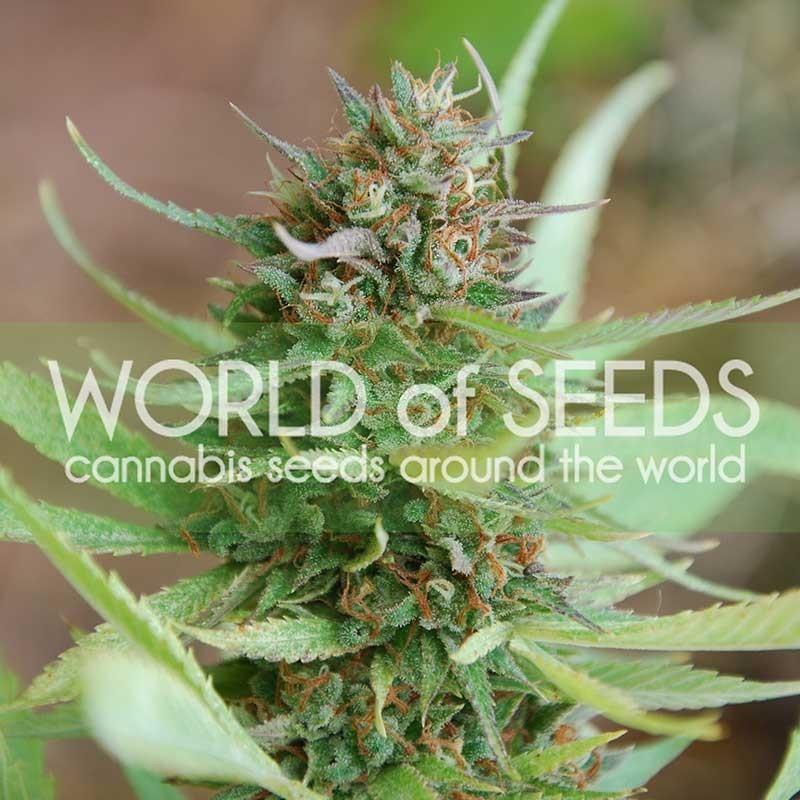 Strawberry Blue (World of Seeds) Feminizada 0