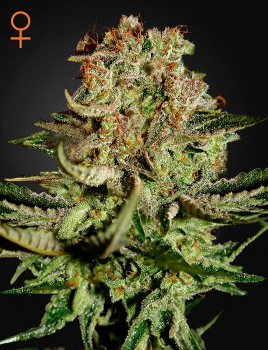 Super Bud (Greeen House Seeds) Semilla Cannabis Feminizada Barata 1