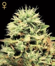 Super Bud (Greeen House Seeds) Semilla Cannabis Feminizada Barata 0