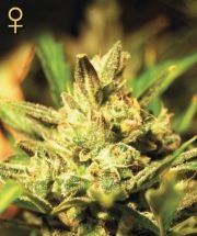 Super Critical Auto (Greeen House Seeds) Semilla 0