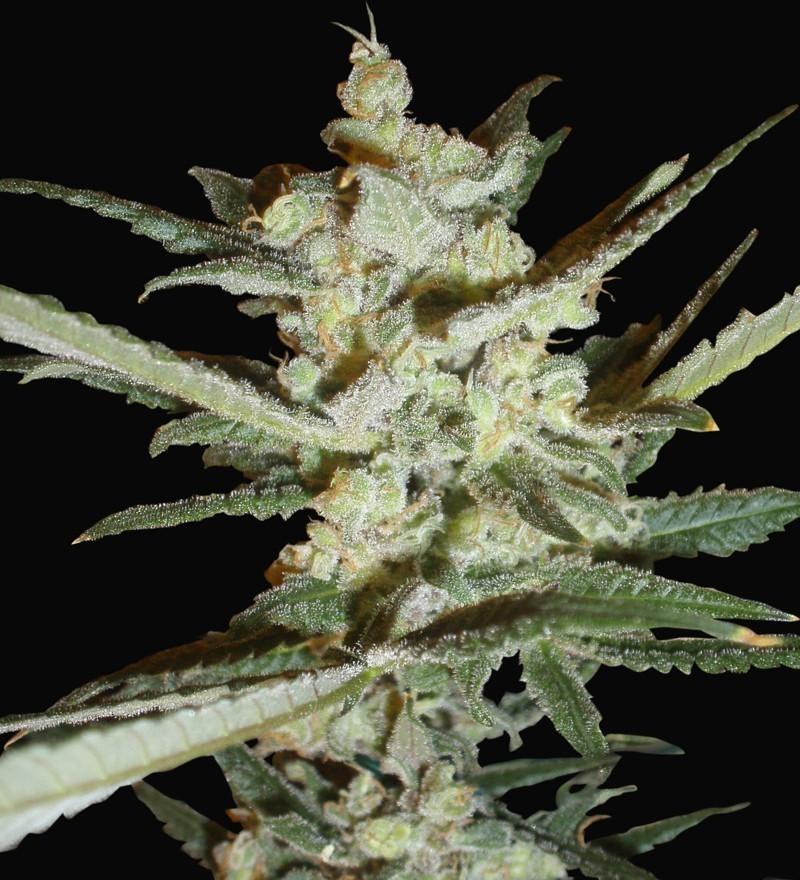 Supersonic Cristal (Samsara Seeds) 1