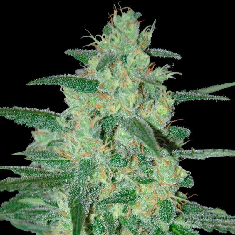 Sweet Black Angel (Samsara Seeds) 1